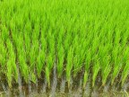 Rice Conservation